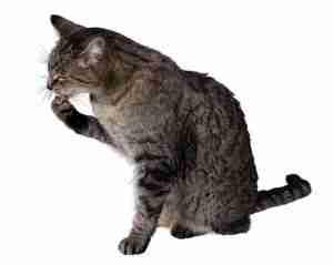lickingcat