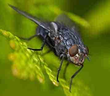 moscas atrapa insectos