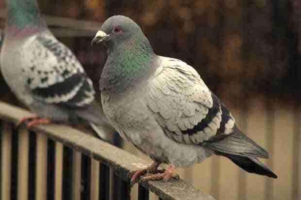 remedios para ahuyentar a las palomas de tu balc n